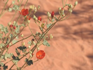 picture of desert flower for hexayurttape.com