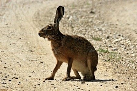 "Planning For The Playa?  Don't Forget ""The Jackrabbit Speaks"""